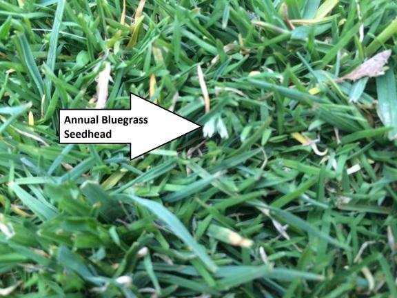 Poa annua seedhead