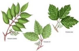 poison ivy-oak-sumac